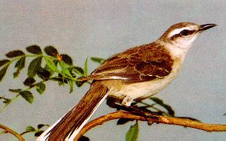 Sabi do campo fauna de vertebrados selvagens de campinas reproduo altavistaventures Images